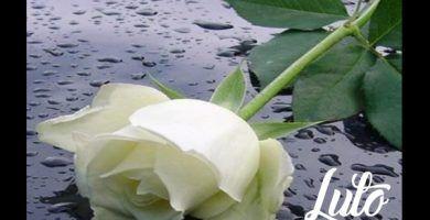 imagenes de rosas blancas de luto