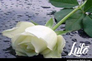 imágenes de rosas blancas de luto