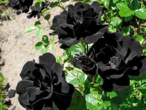 imagenes de rosas negras naturales
